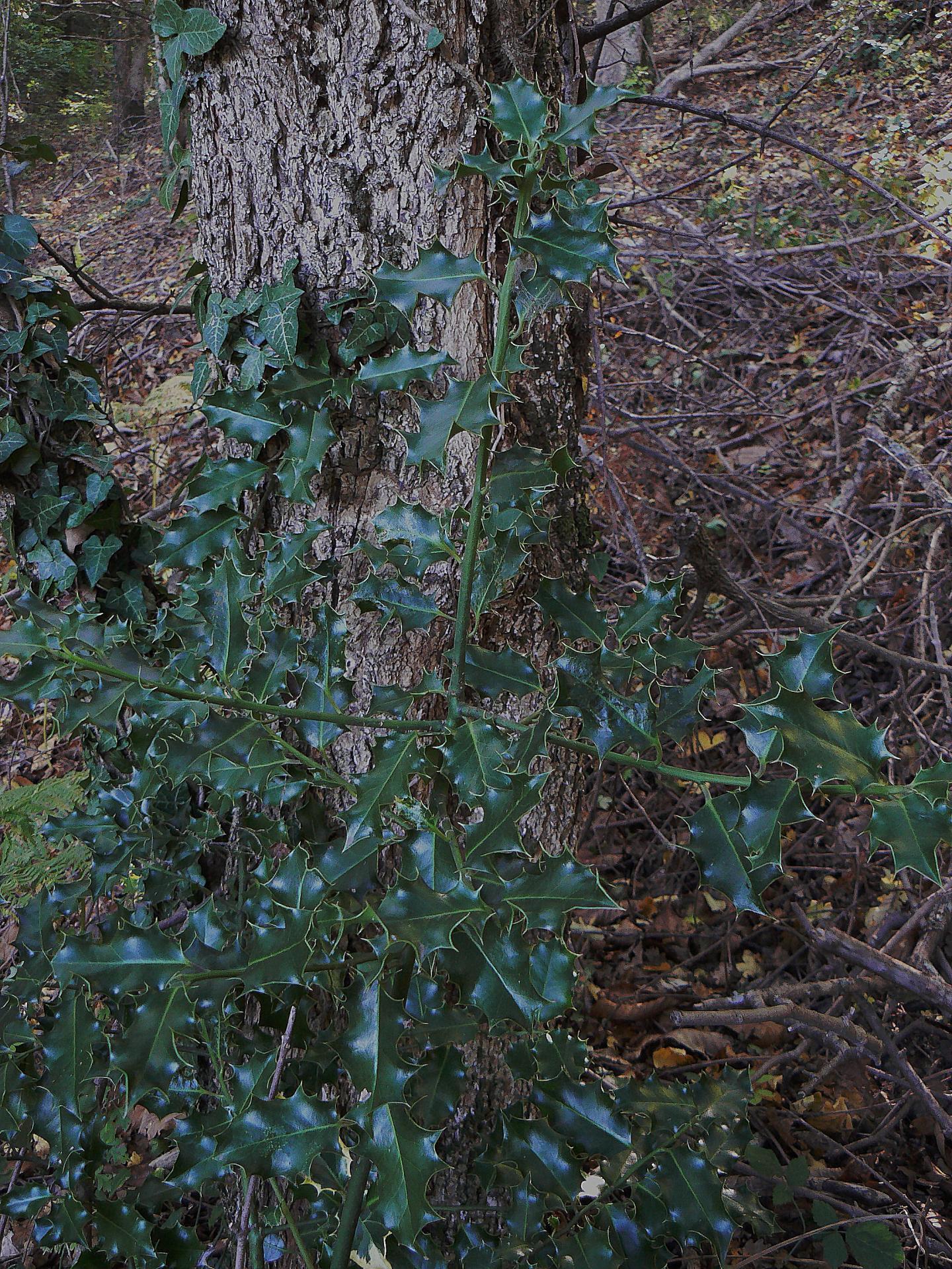 Les plantes magiques en catalogne - Le houx porte bonheur ...